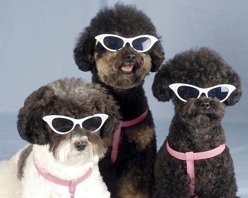3 dogs with sunglasses