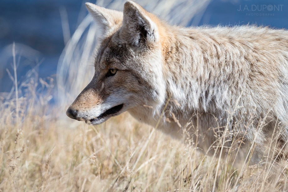 Coyote Pretty, Yellowstone National Park, by wildlife photographer Jacques-André Dupont