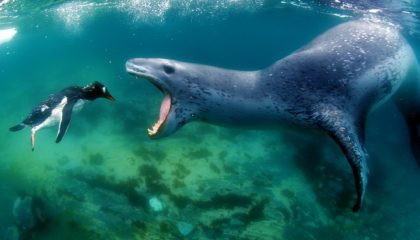 leopard seal about to eat a penguin by wix photographer amos nachoum