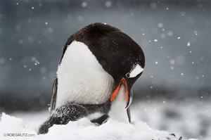 penguin in the snow