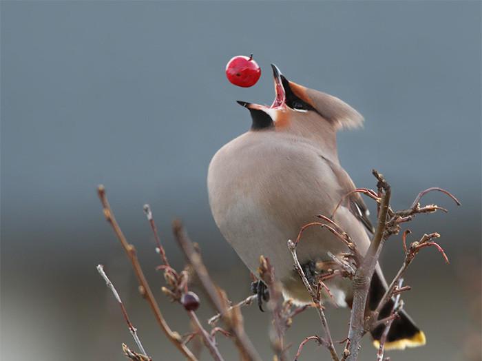 Bird catches berry