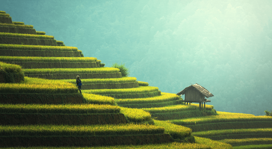 person walking on a hill of green rice fields