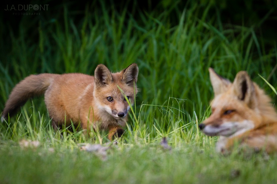 Foxes hunting, Quebec, Canada, by wildlife photographer Jacques-André Dupont