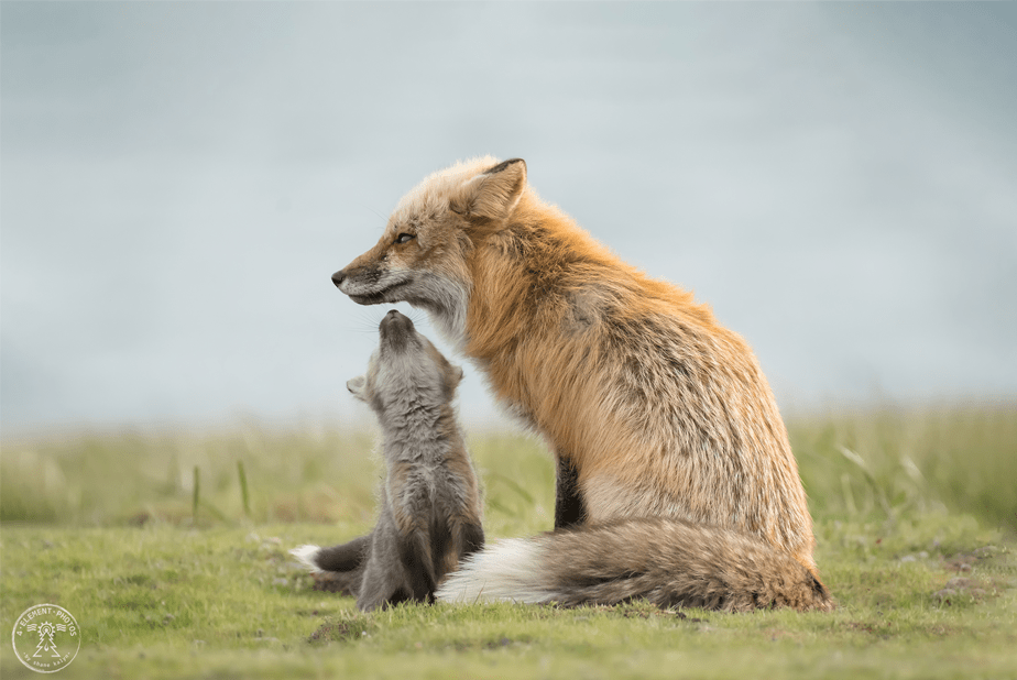 baby red fox reaches out to its mom for a kiss as they stand on a green field