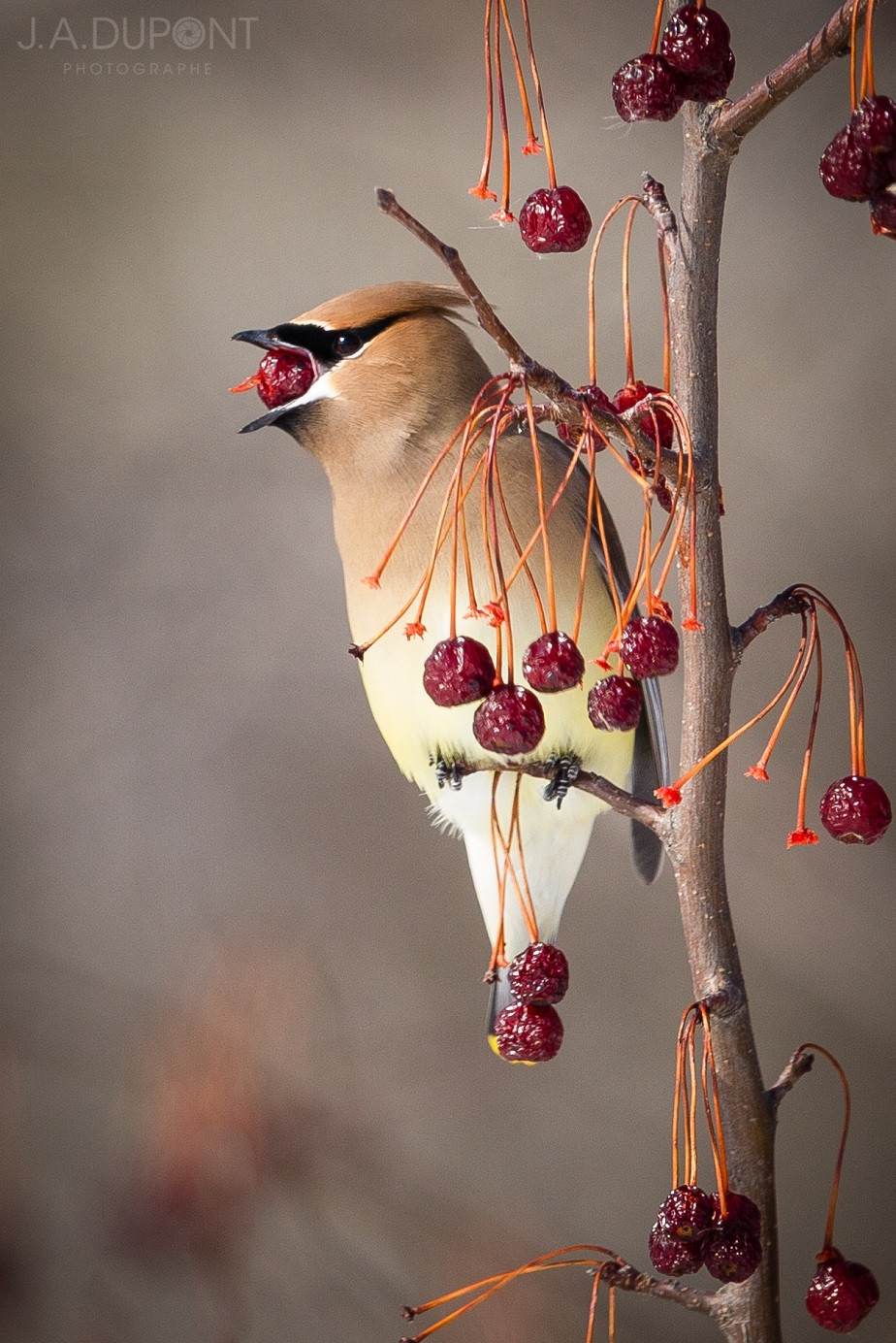 Bird eating a fruit, Quebec, Canada, by wildlife photographer Jacques-André Dupont