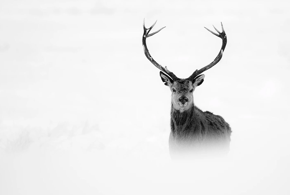 black and white stag on fog