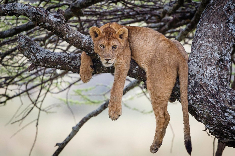 Lion on a tree branch, Serengeti National Park, by wildlife photographer Jacques-André Dupont