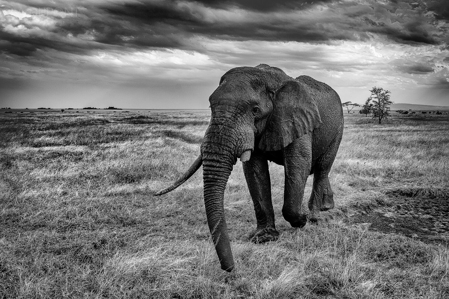 beautiful elephant picture black and white, Serengeti National Park, by wildlife photographer Jacques-André Dupont