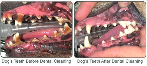 vet greystones vet blacklion vets dirty dog teeth