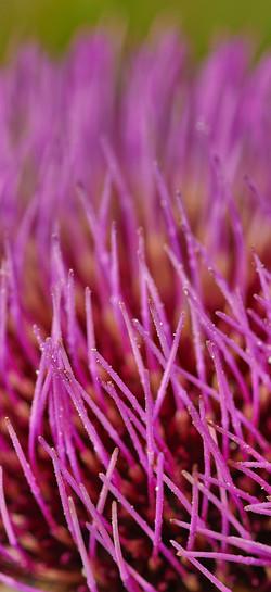 Fiore di Cardo
