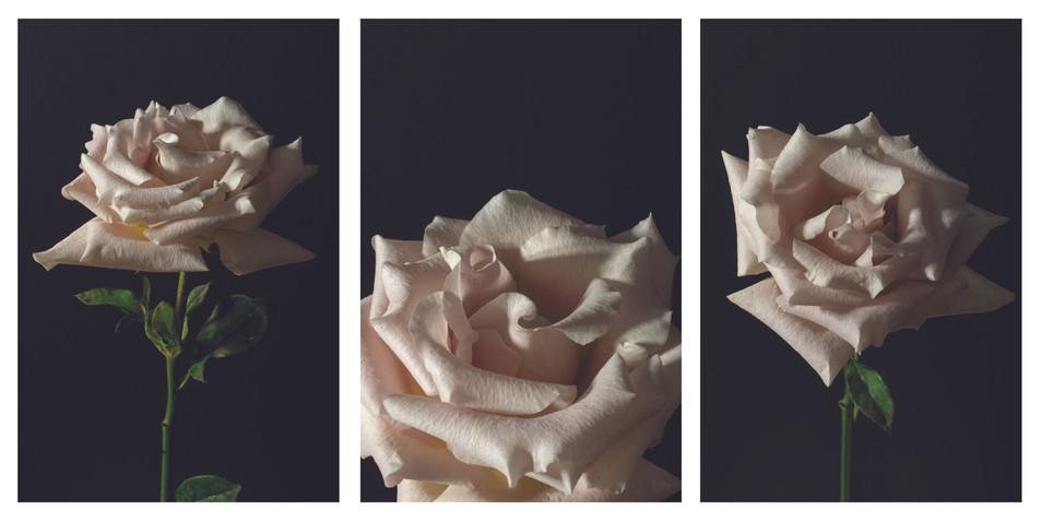white rose triptych.jpg