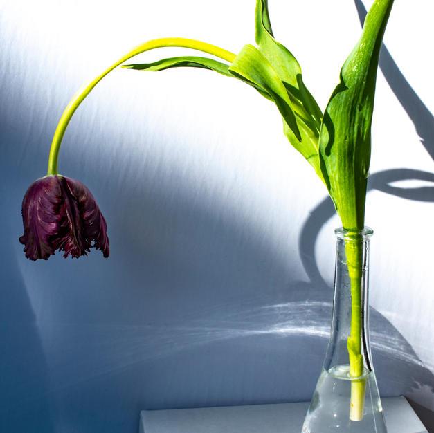 Vogue Tulip