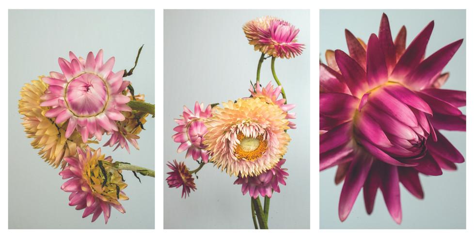 strawflower triptych.jpg