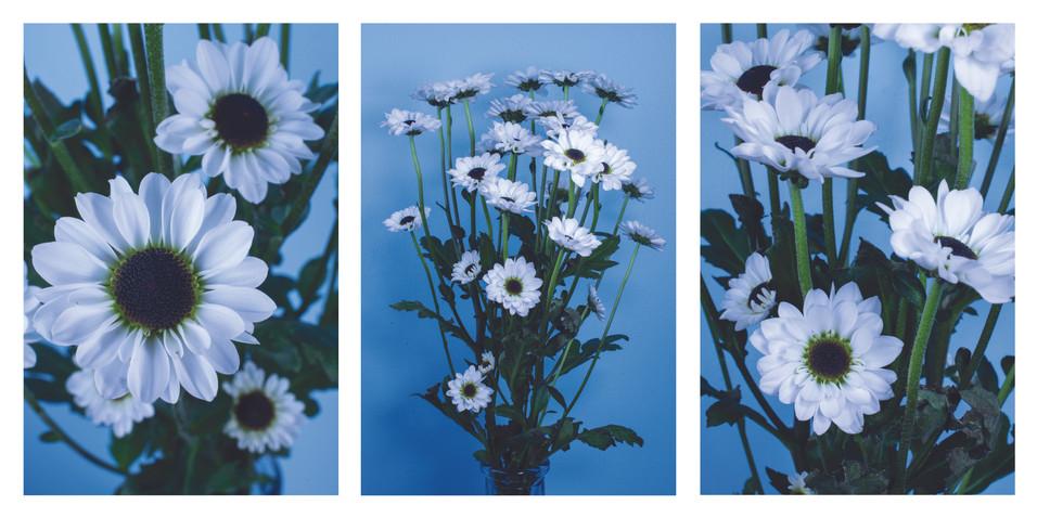 Daisies triptych.jpg