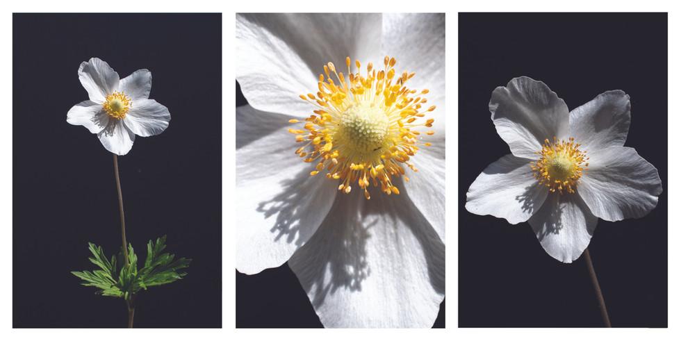 outdoor white flower triptych.jpg