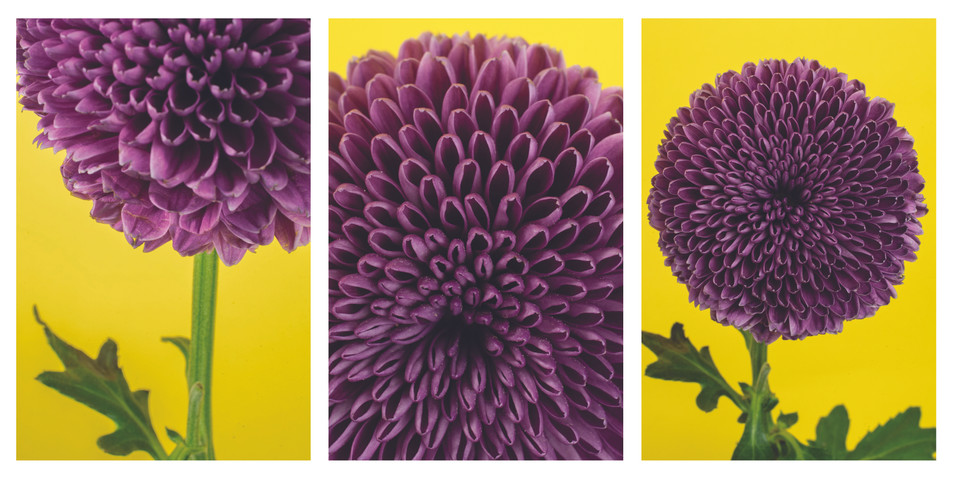 purple puff flower.jpg