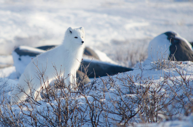 Arctic Fox_1.1.jpg