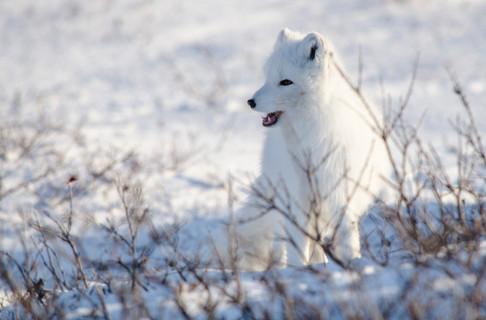 Arctic Fox.JPG