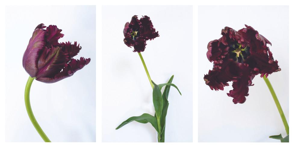 Tulip triptych.jpg
