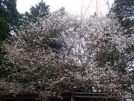 桜とは、なんと儚い・・・・・