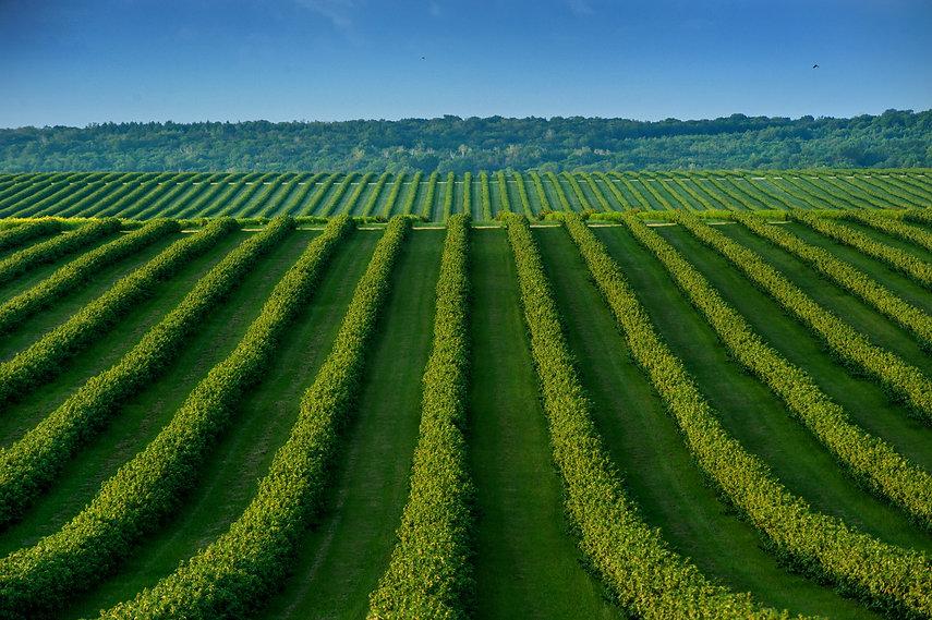 AdobeStock_216862756_rows of bush currant, fruit plantation.jpeg