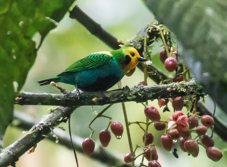 Multicolored Tanager Central Colombia Nick Athanas.jpg