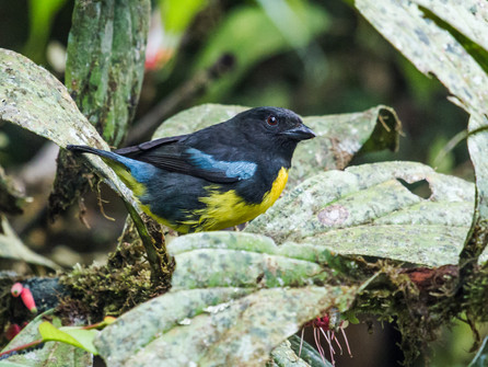 Black-and-gold Tanager Central Colombia Nick Athanas.jpg