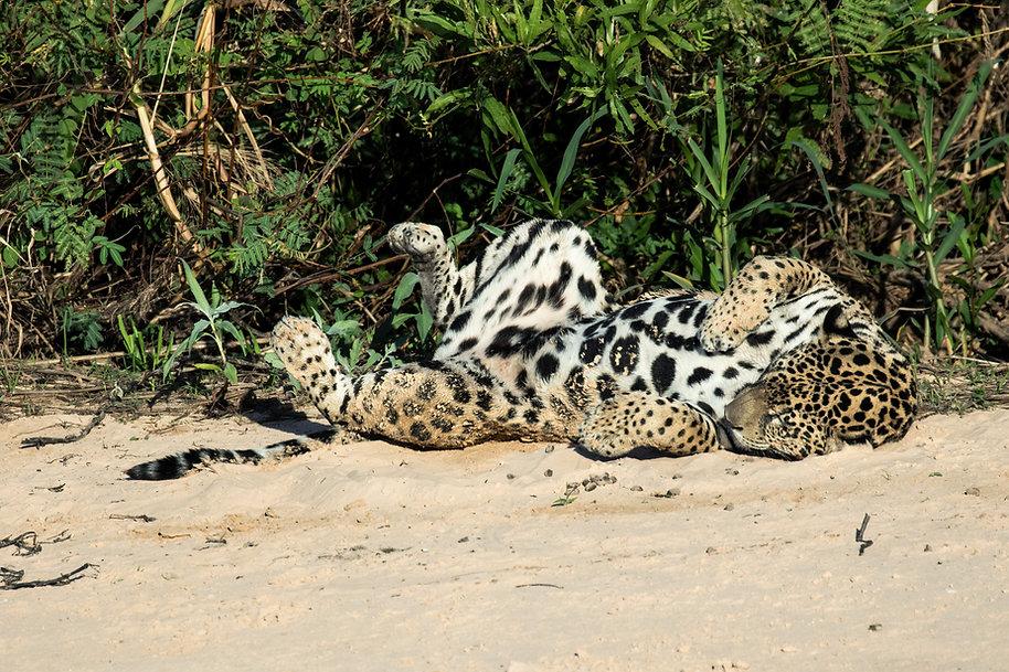 416A_1633-Jaguar-riotresirmaos.jpg