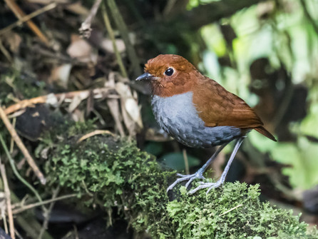 Bicolored Antpitta Central Colombia Nick Athanas.jpg