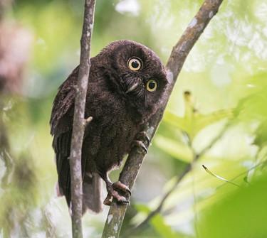 Anjouan Scops-Owl Ken Behrens.jpg