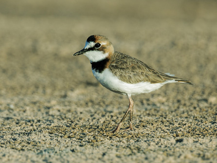 Collared Plover Nick A.jpg
