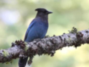 bluejaybird.jpg