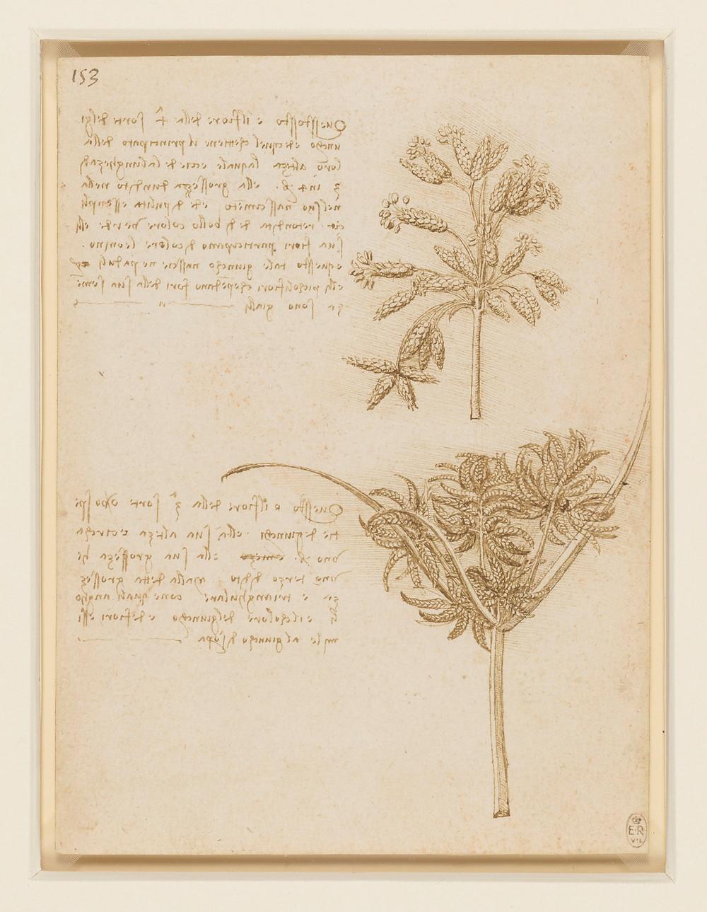 Leonardo Da Vinci's botanical drawing and text of a rush