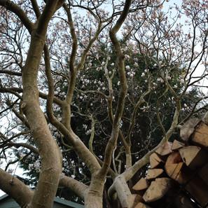 Magnolia above log arch