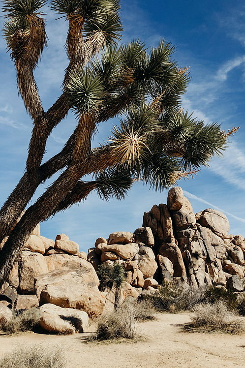 Joshua Tree 12x18 Metal Print
