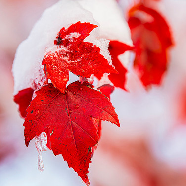 Red Maple Leaf in Winter