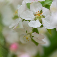 Apple Blossoms May 29 17 x 13 WCC_8937 S