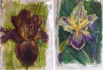 Irises by Maggie Schmidt