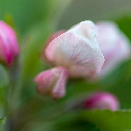 Blossom Buds by Colin Chase