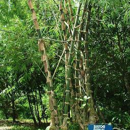 "Bambusa merrillianus elmer ""Bayog"""