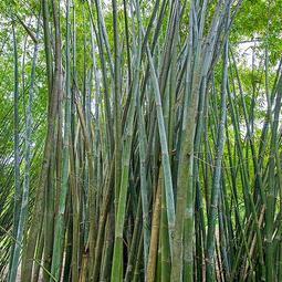 """Bambusa tulda """"Long Internode"""""""