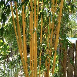 Schizostachyum brachycladum 'Yellow'