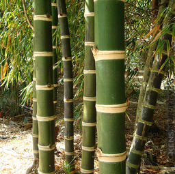 "Guadua angustifolia Kunth ""Iron Bamboo"""