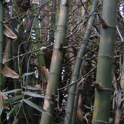 "Bambusa blumeana ""Kawayang Tinik"""