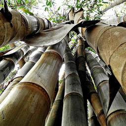 "Dendrocalamus membranaceus ""Drought Resistant Bamboo"""