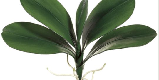 """Hoja Phalaenopsis 18"""""""