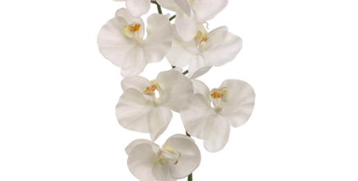 "Orquidea Phalaenopsis 30"""