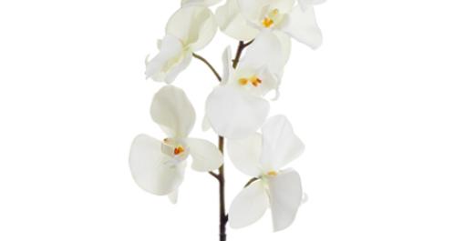 "Orquidea Phalaenopsis 32"""