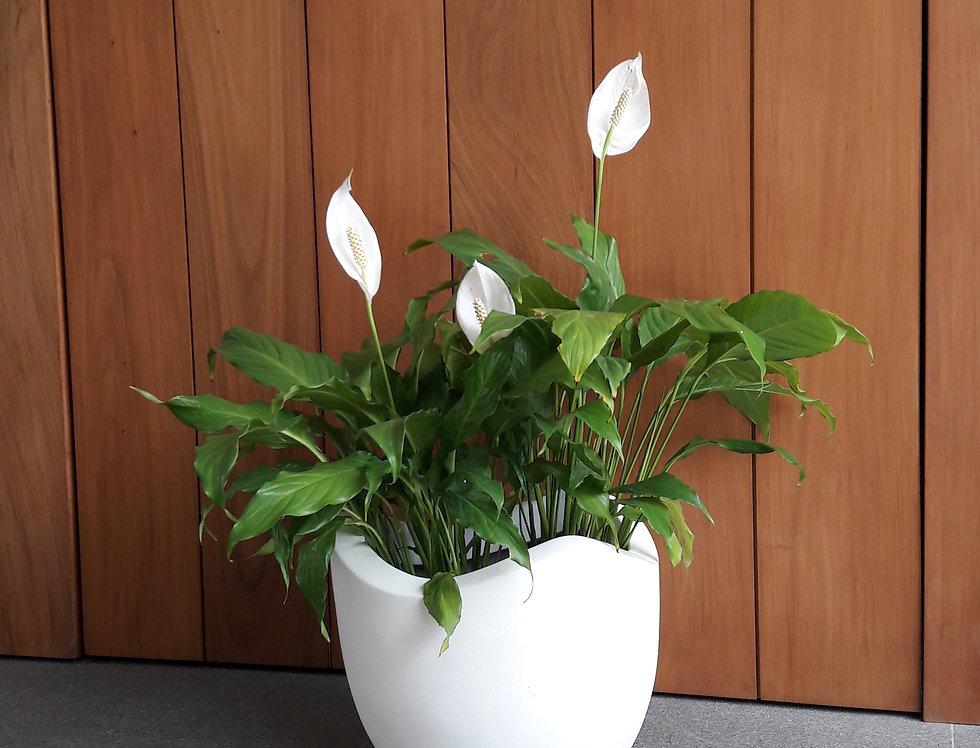 Maceta Tulipán 60