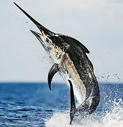 Black Marlin.jpg